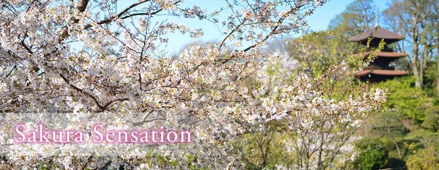 Sakura Sensation~サクラセンセーション